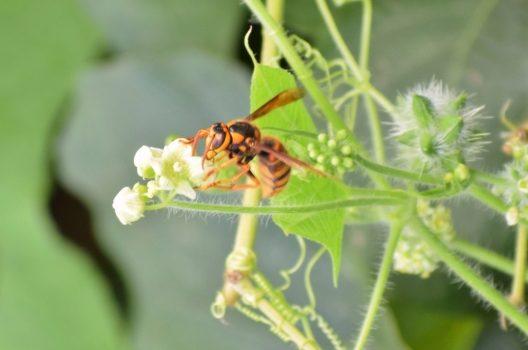 キイロスズメバチの生態を解説!危険度トップ!?「引越し」に要注意