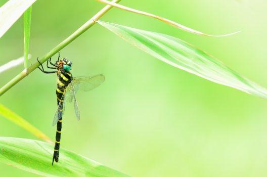 スズメバチの天敵1:虫