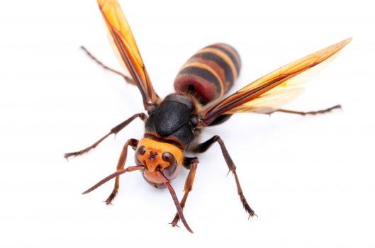 スズメバチの種類を知って身を守ろう|見分け方と予防策を解説します