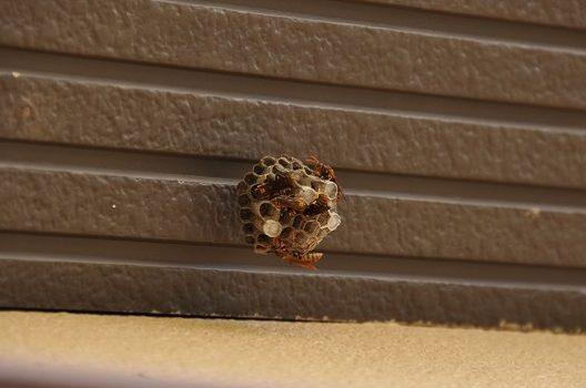 スズメバチの巣をさらに詳しく解説!種類の見分け方とは