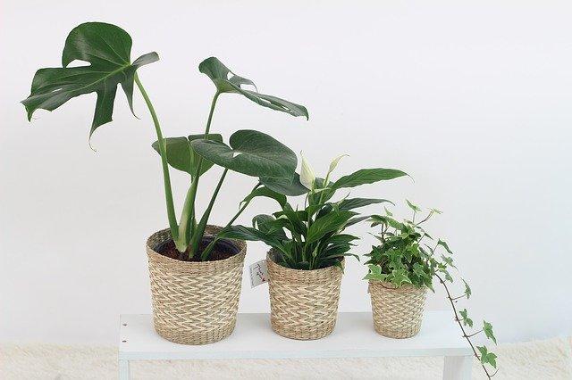 観葉植物にコバエがわいたときの駆除方法!すぐにできる対策方法も