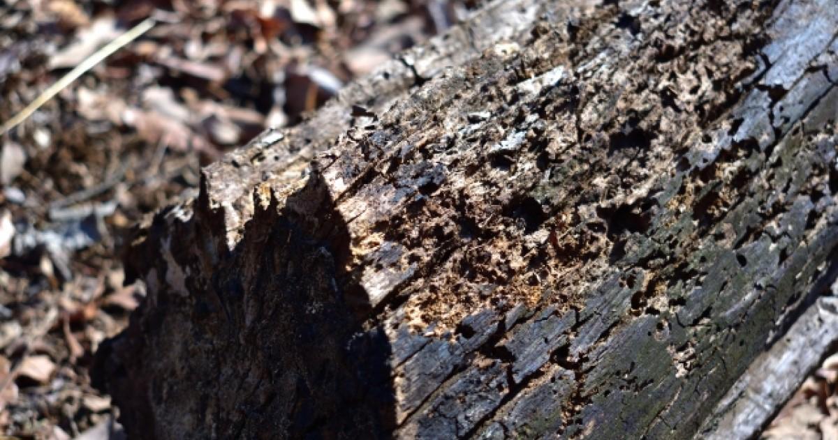 イエシロアリとは?ヤマトシロアリとの違いや羽アリの発生理由も解説