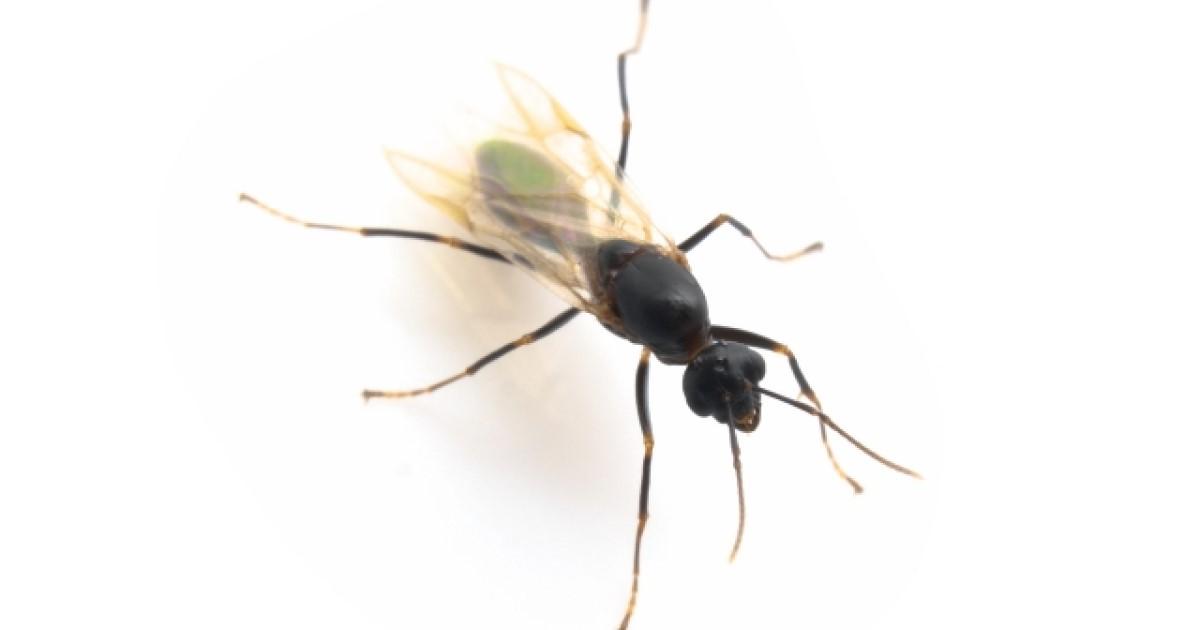 羽アリが大量発生したら種類を特定しよう!発生原因と対策も解説