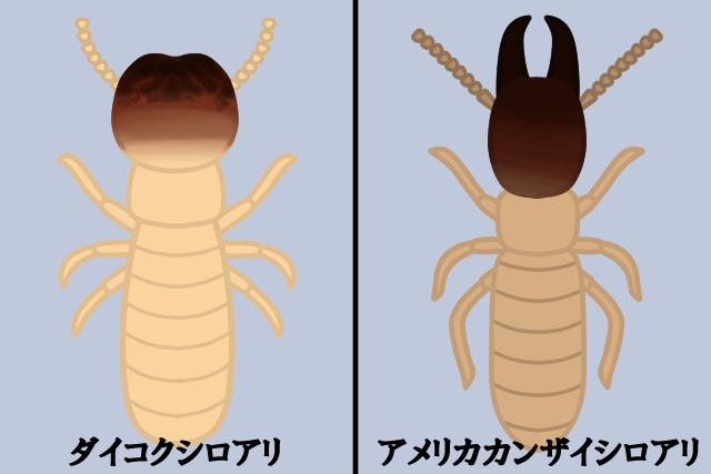 ダイコクシロアリ・アメリカカンザイシロアリ