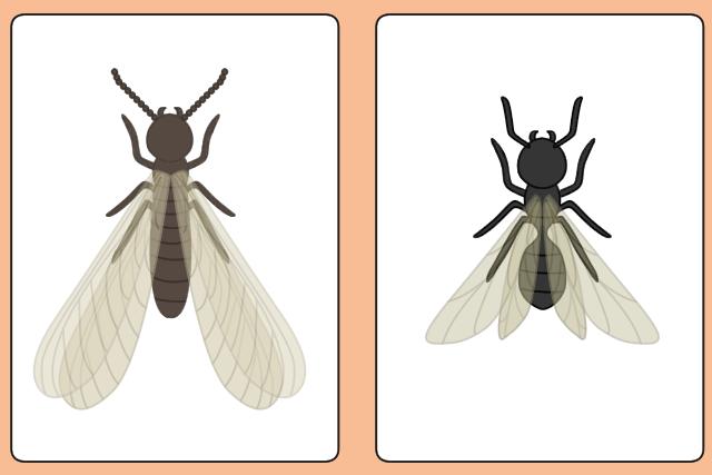 シロアリとクロアリの蟻道の見分け方